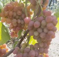 Гибридная форма винограда дашуня лучший выбор