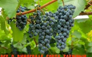 Характеристика винограда таежный