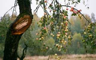 Триплоид яблоня что это