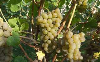 Описание и характеристика винограда кристалл
