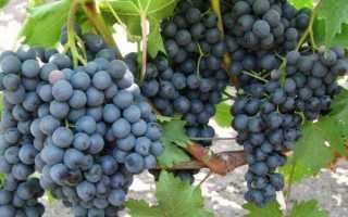 Высокоурожайные виды винограда