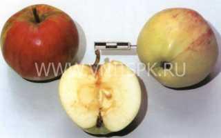 Яблоня осеннее низкорослое