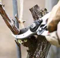 Технологии подрезки виноградных кустов