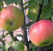 Колоновидная яблоня васюган описание сорта фото отзывы мой урожай