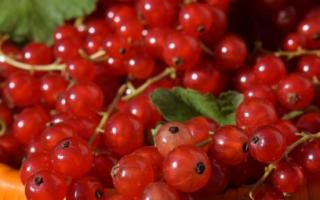 Когда сажать красную смородину весной или осенью