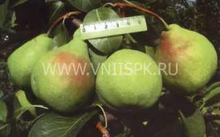 Характеристика груши сорта августовская роса