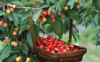 Выращивание карликовой черешни