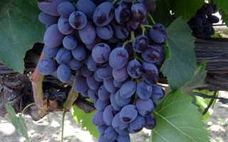Новые морозостойкие сорта винограда