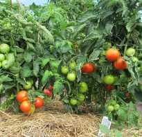 Описание томатов яблонька россии