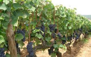 Разновидности фунгицидов для винограда