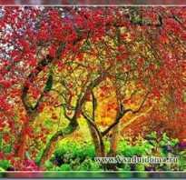 Выращивание декоративной яблони