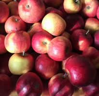 Беркутовка сорт яблок описание