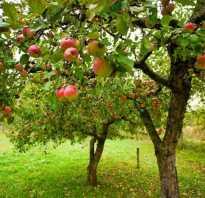 Нужно ли окапывать яблони осенью