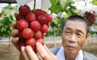 Американский столовый виноград