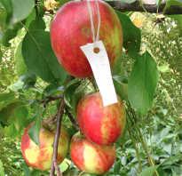 Все о сорте яблони коваленковское