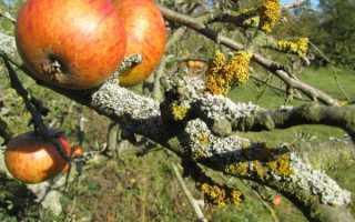Признаки лишая на яблоне и способы лечения