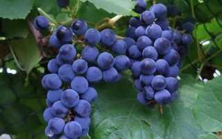 Как выращивать виноград сорта шарова