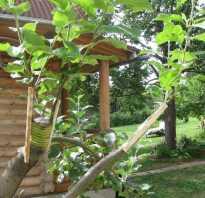 Можно ли прививать яблоню осенью