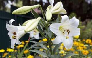Цветущие лилии в саду