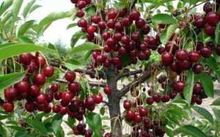 Правила посадки вишни в июне