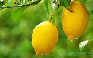 Правила посадки и выращивания лимонного дерева дома