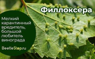 Лечение филлоксеры на винограде