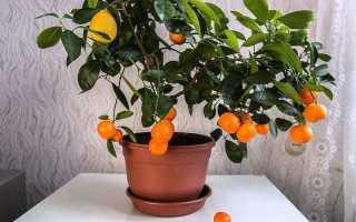 Каламондин цитрус уход в домашних условиях пересадка удобрения