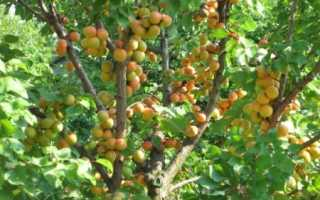 Сорта абрикоса для выращивания в сибири