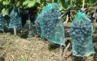 Как бороться с осами на винограде