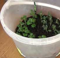 Размножаем хризантемы черенкованием