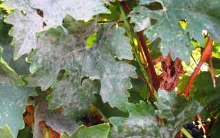 Мучнистая роса на винограде и меры борьбы