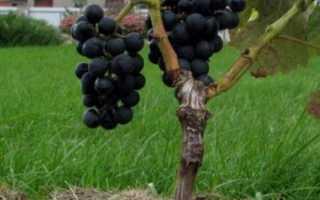 Особенности прививки винограда осенью