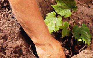 Копаем яму для посадки саженце винограда
