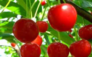 Выращивание вишни тургеневка