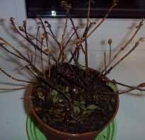Азалия опали листья как ее спасти