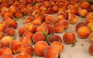 Сроки созревания персиков