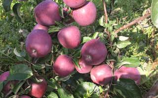 Характеристика сорта яблони имант