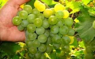 Описание винограда дружба как универсального сорта