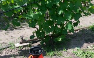 Опрыскивание винограда осенью мочевиной