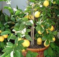 Как правильно ухаживать за лимоном мейера