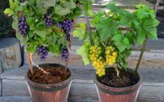 Особенности цветения кустов винограда