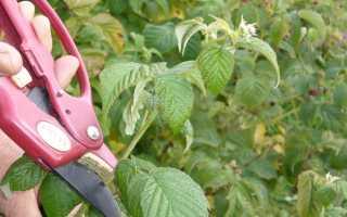 Как подрезать малину осенью
