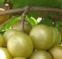 Правила подкормки винограда использование коровяка