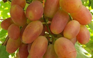 Описание сорта винограда сенсация преимущества и недостатки