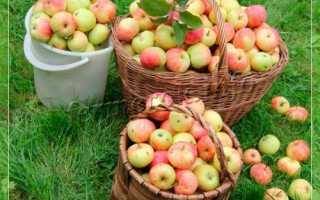 Какие осенние сорта яблонь лучшие