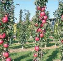 Колоновидные сорта яблонь для урала