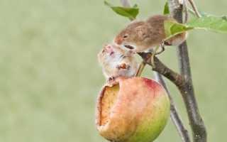 Как защитить яблони от грызунов зимой