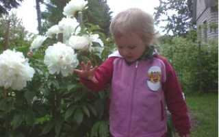 Цветок пион сажаем сорта пионов как правильно проводить посадку пионов