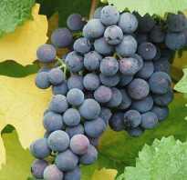 Виноград гибрид альфа