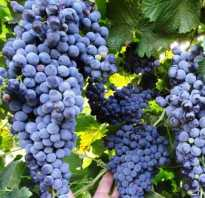 Агротехника выращивания винограда каберне совиньон